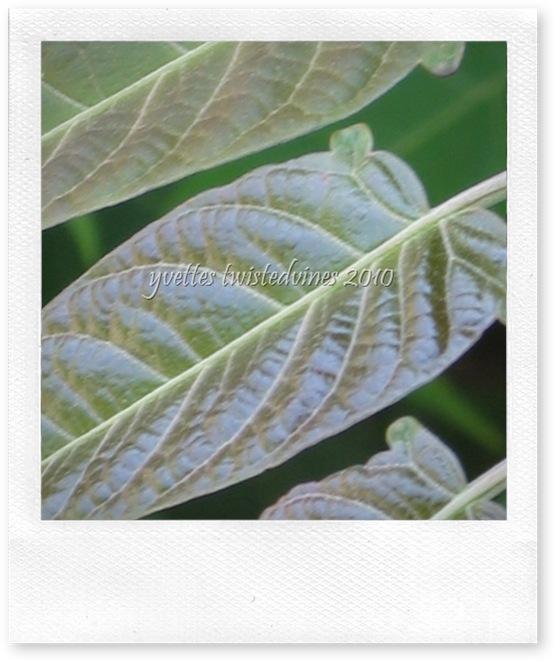 garden leaves 047