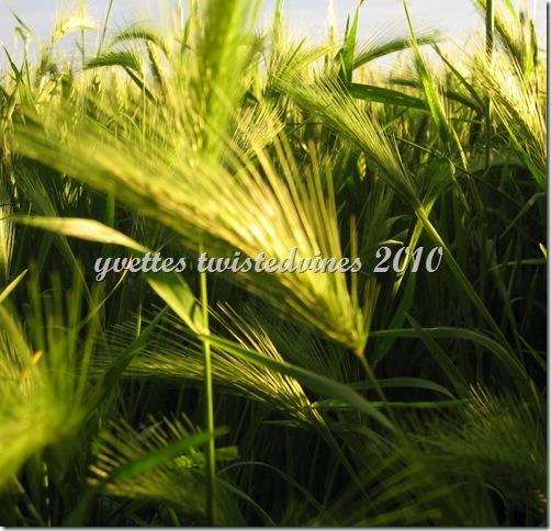 wheat 025