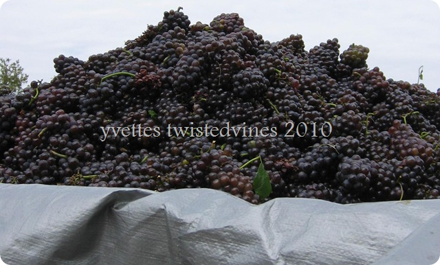 grape harvest 2010
