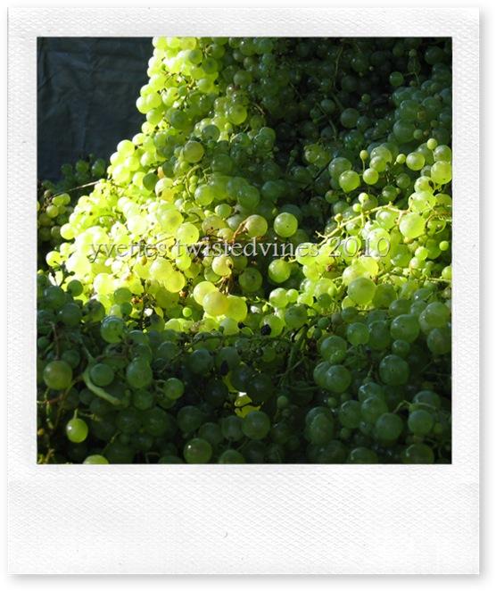 vino 022