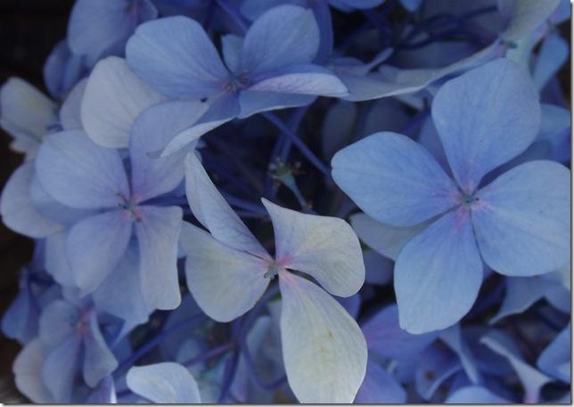 hydrangea 20123