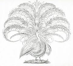 1aspencpeacockgfairy007[1]