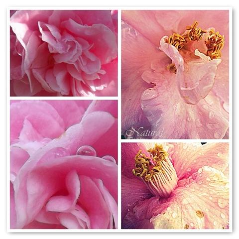 camellia quadro